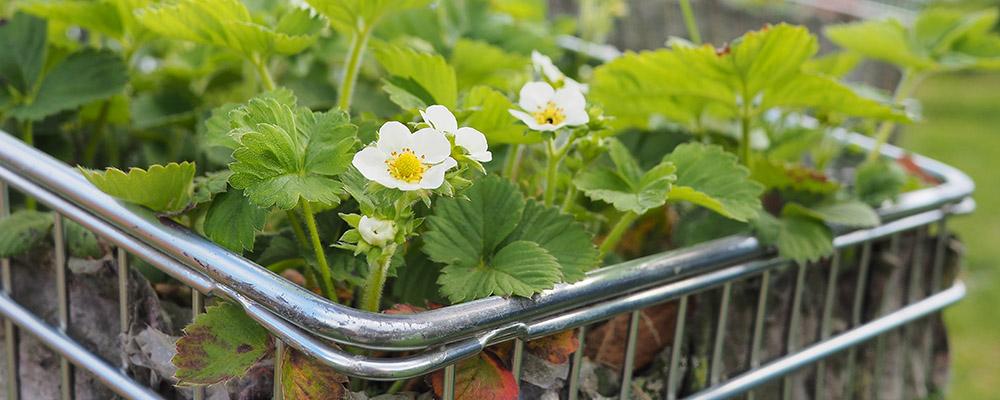 Anbauflächen: Erdbeeren im Einkaufswagen