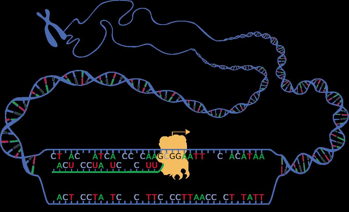 transkription 1 schritt der proteinbiosynthese serlo. Black Bedroom Furniture Sets. Home Design Ideas