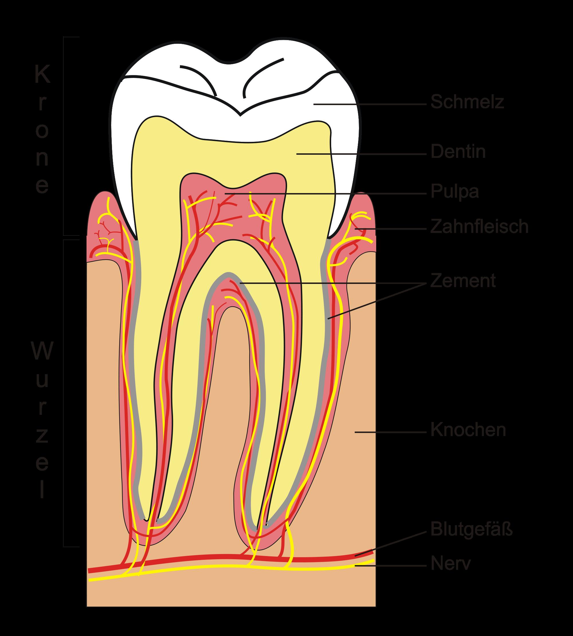 Tolle Menschlicher Zahn Bilder - Menschliche Anatomie Bilder ...