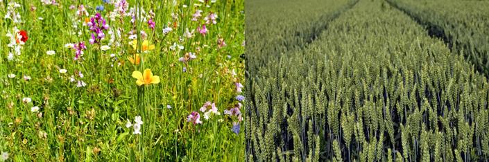 Abb.2 Links: Diverse Grass Landschaft; Rechts: Monokultur Weizenfeld