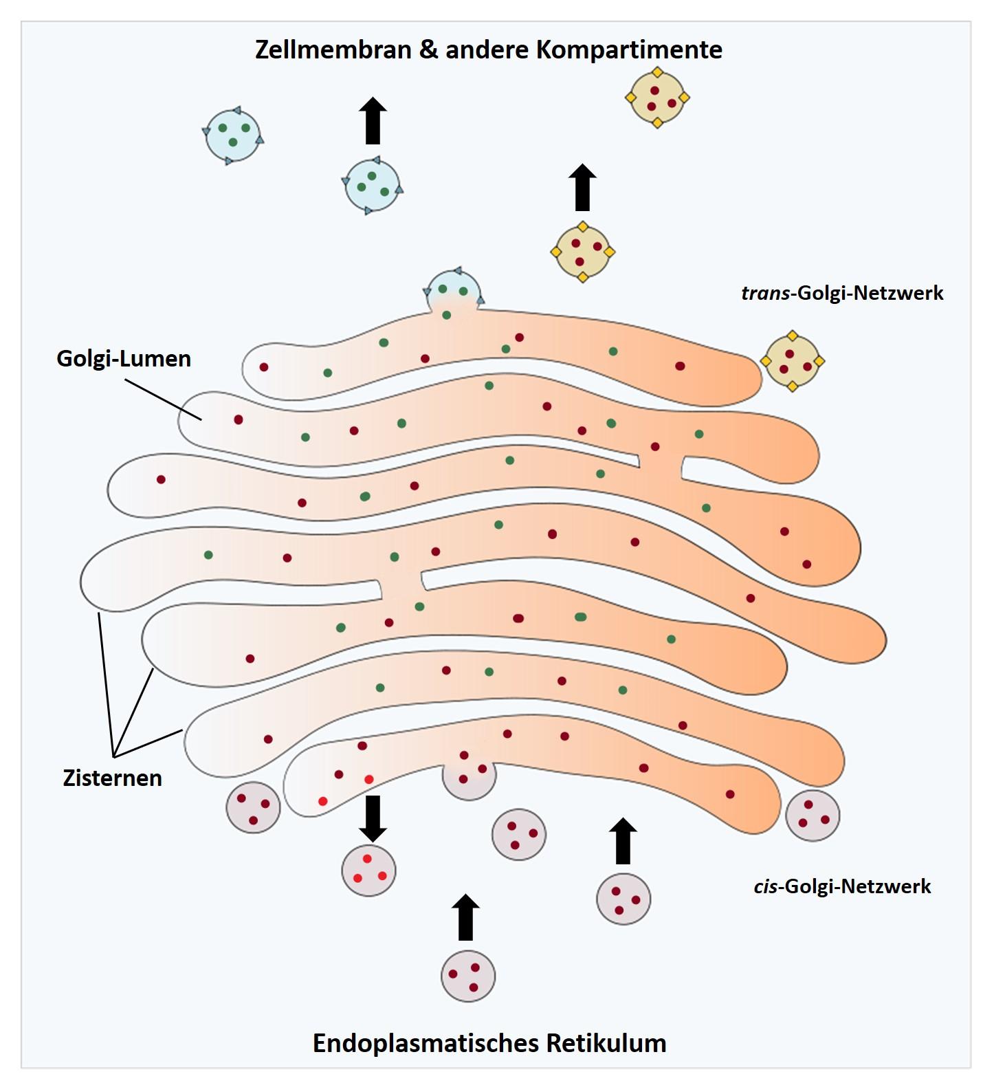 Grafische Darstellung des Golgi-Apparats
