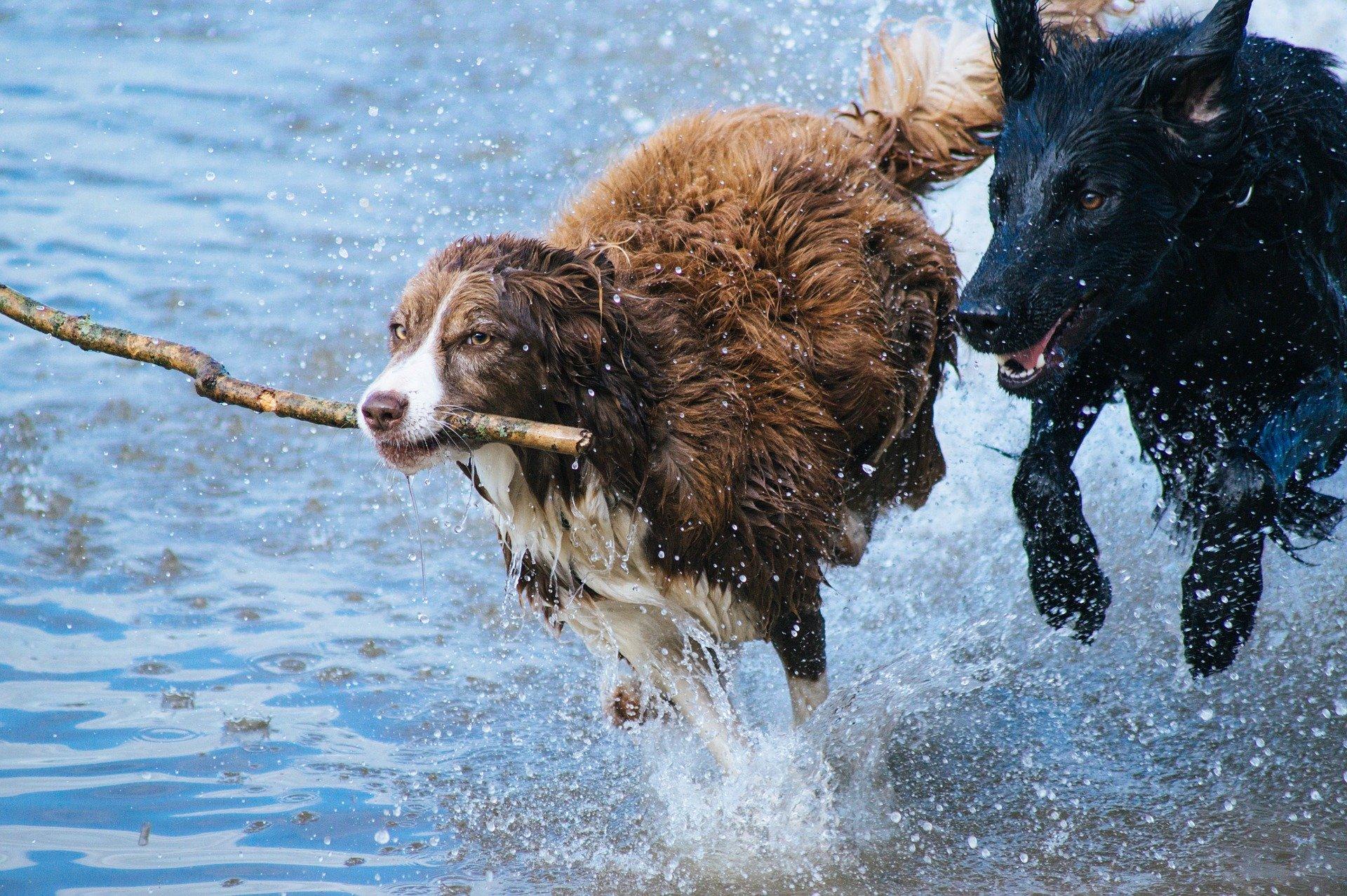 zwei Hunde im Wasser