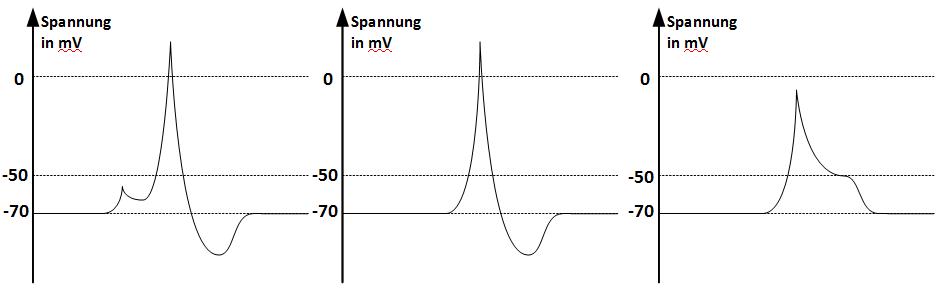 Zeitliche Änderung der Spannung in Millivolt bei einer sukzessiven Spannungserhöhung um zweimal 15 Millivolt