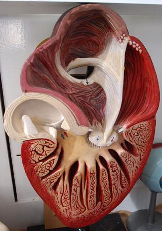 Strukturmodell eines Herzens