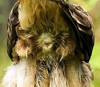 Kloake eines Huhns