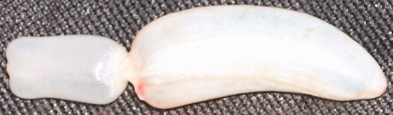 Schwimmblase einer Rotfeder