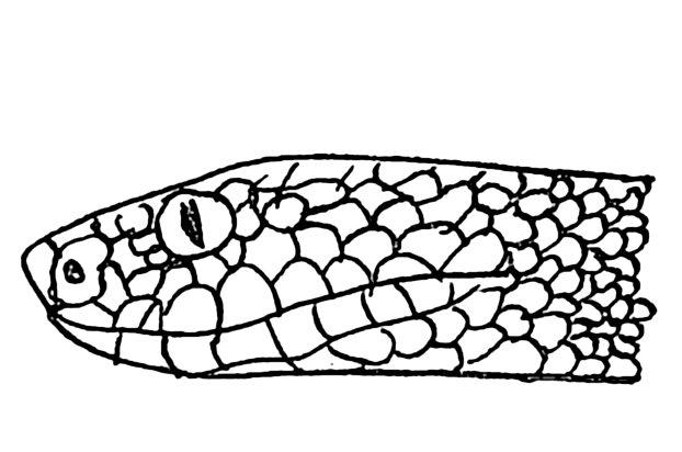 Skizze eines Vipernkopfes