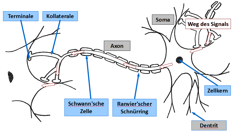 Schema eines Neurons