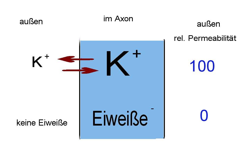 Verteilung der wichtigsten Ionen inner- und außerhalb des Axons