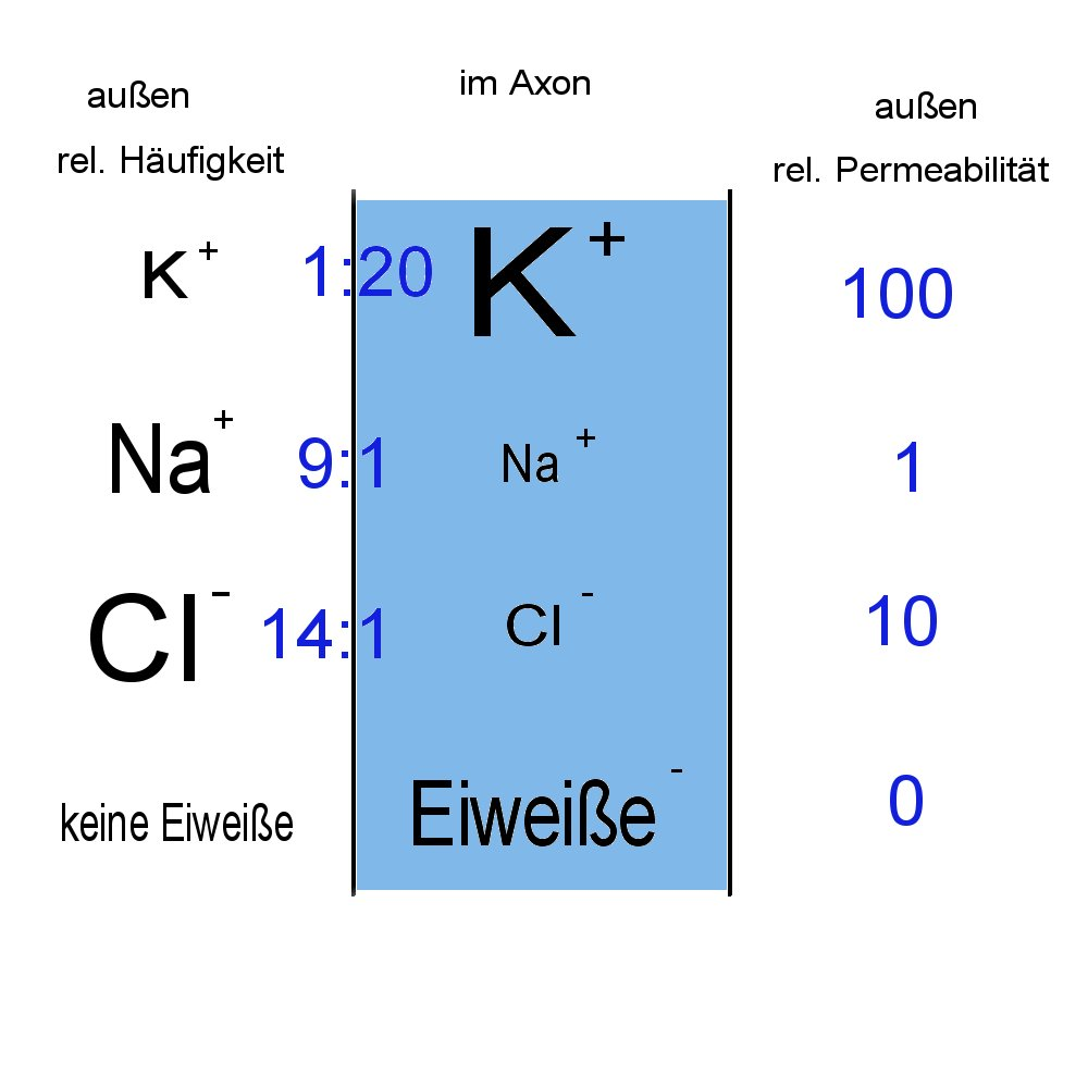 Ionenverteilung an einem Axon und relative Permeabilität der Axonenmembran