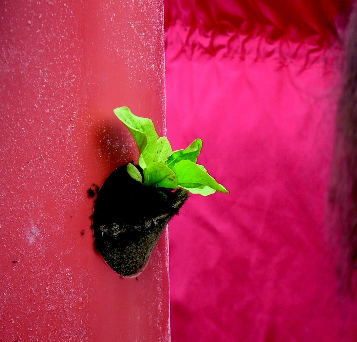 Salatbaum Pflanzen einsetzen