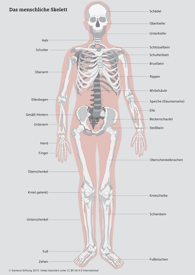 Knochenbau Des Menschen