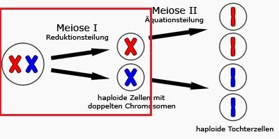 Unterschied mann frau meiose