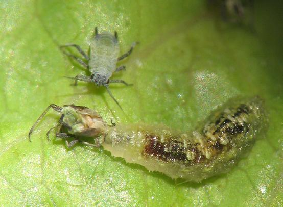 Schwebfliegenlarve