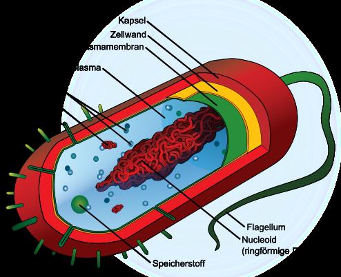 Prokaryotisches einzelliges Lebewesen