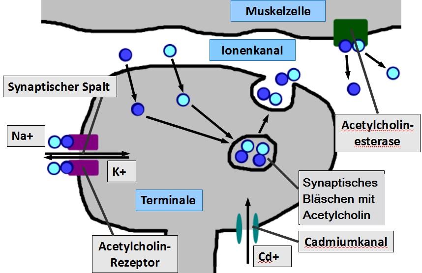 Aufgaben zur Synapse - Biologie Themenordner » Serlo.org