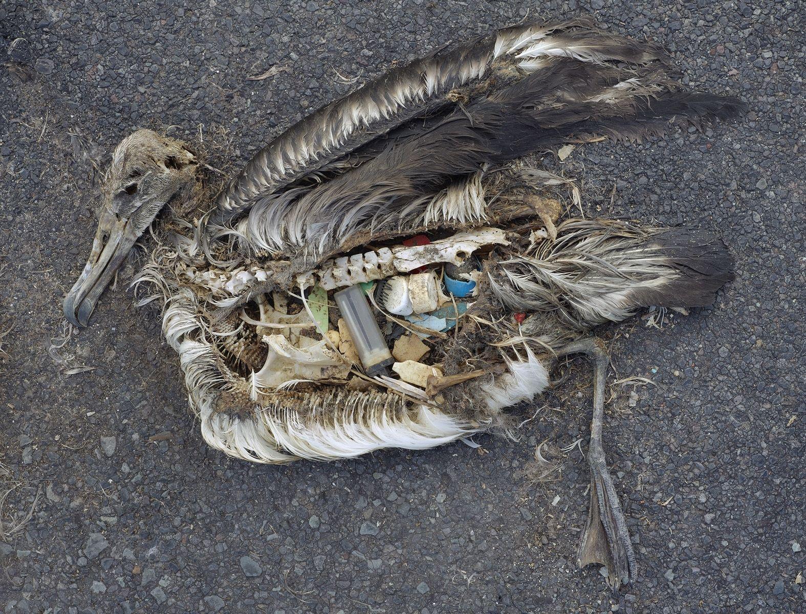 Albatross Plastik
