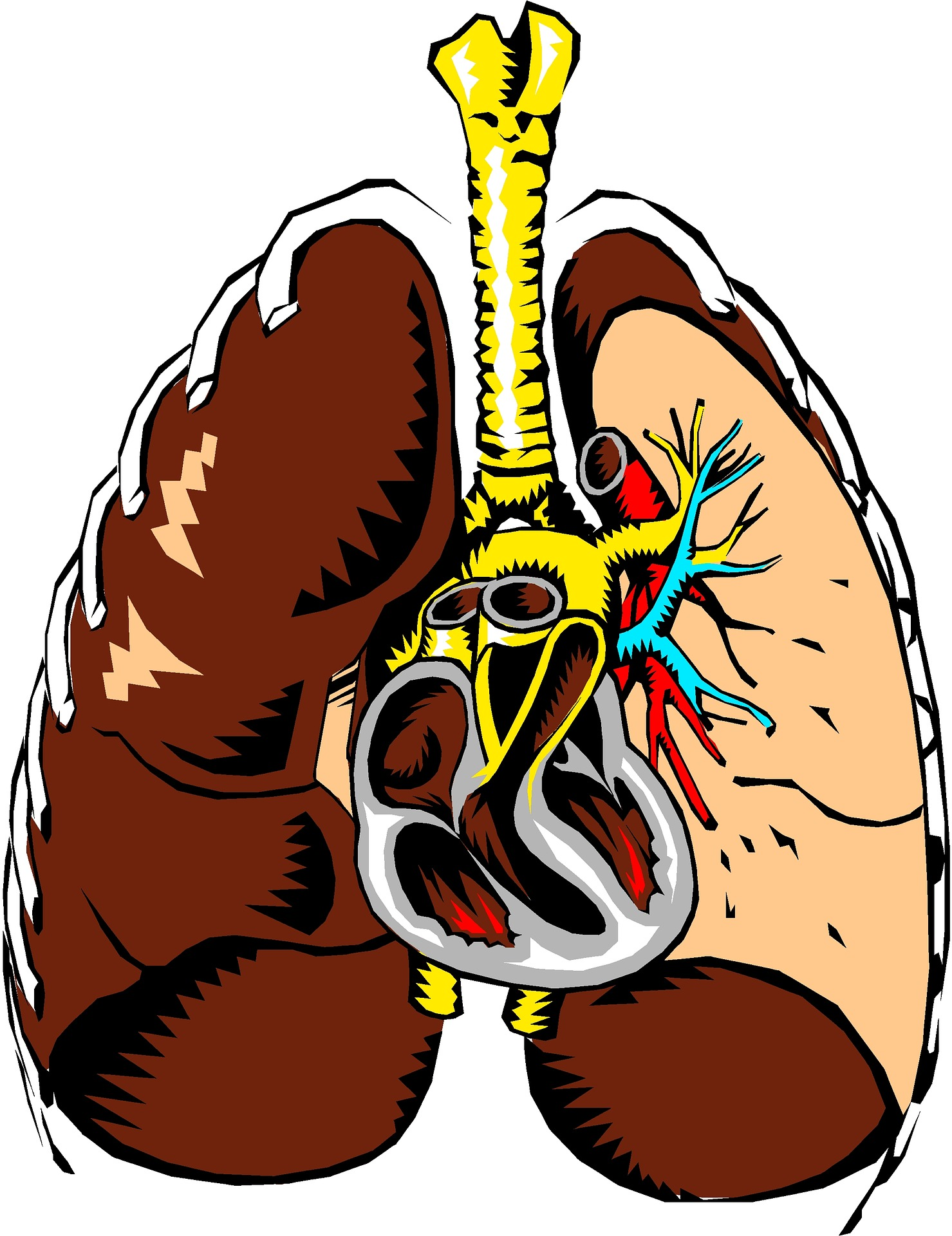 Das menschliche Herz - Biologie Artikel » Serlo.org