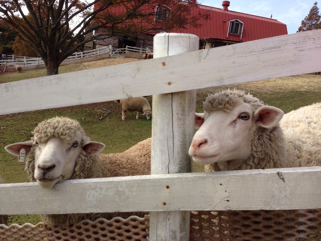 Schafe auf Weide hinter Zaun