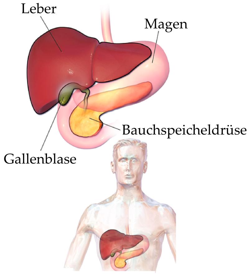 Die Leber - Biologie Artikel » Serlo.org